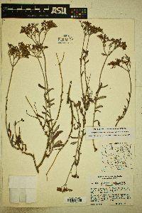 Eriogonum microthecum var. simpsonii image