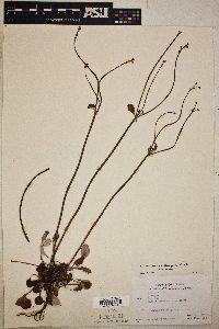 Eriogonum nudum image