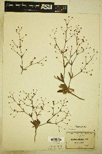 Image of Eriogonum viridescens