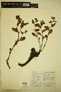 Image of Polygonum newberryi