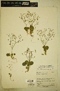 Stenogonum flexum image