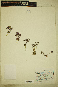 Androsace occidentalis image