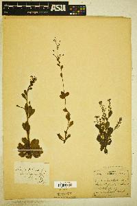 Samolus valerandi image