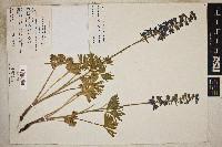Delphinium stachydeum image