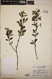 Sorbus melanocarpa image