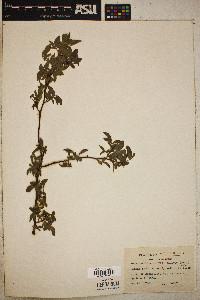 Rosa carolina subsp. carolina image