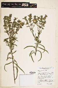 Image of Salvia acerifolia