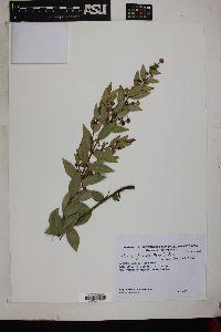 Image of Myrcia verticillaris