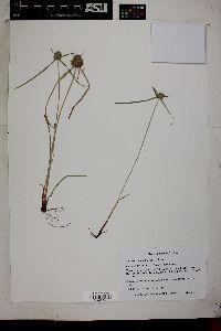 Cyperus michelianus image