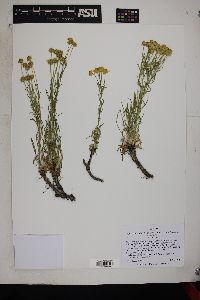 Hymenoxys richardsonii var. floribunda image