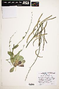 Streptanthus cordatus image