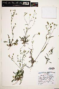 Malacothrix stebbinsii image