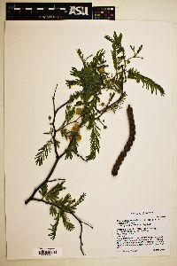 Vachellia aroma image