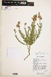 Gaura hexandra image