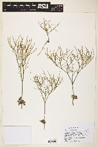 Image of Eriogonum brachyanthum