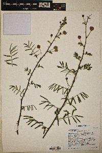 Mimosa asperata image