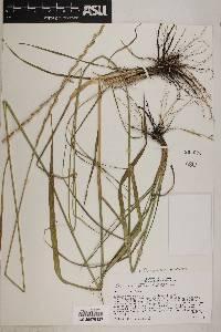 Thinopyrum elongatum image