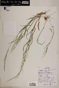 Brachiaria arizonica image