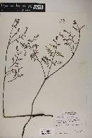 Pteridium aquilinum var. pubescens image