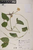 Ramirezella strobilophora image