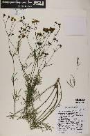 Coreocarpus arizonicus image