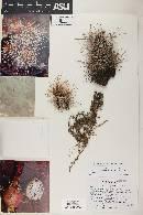 Echinocereus mojavensis image