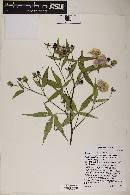 Gossypium thurberi image