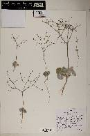 Eriogonum hookeri image