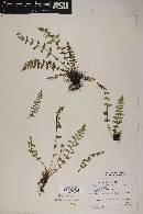 Woodsia neomexicana image