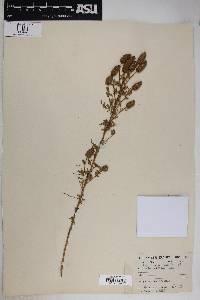 Dalea albiflora image