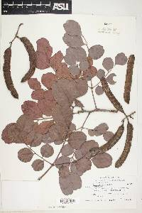 Ceratonia siliqua image