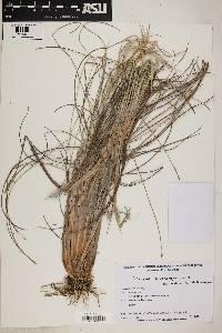 Andropogon leucostachyus image