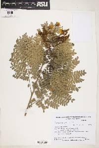Image of Caesalpinia pluviosa