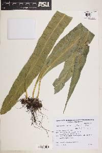 Image of Campyloneurum nitidum