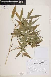 Image of Phyllostachys aurea