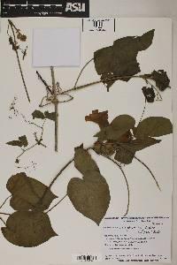 Image of Pithecoctenium crucigerum