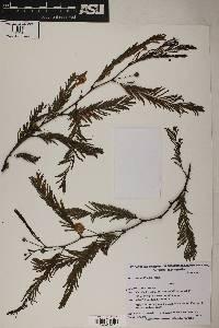 Image of Acacia aroma