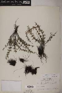 Pellaea wrightiana image