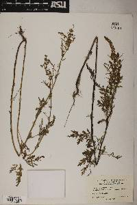 Ambrosia acanthicarpa image