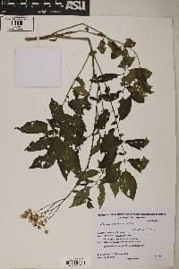 Image of Solanum chacoense