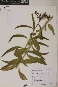 Image of Solanum glaucophyllum