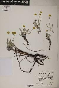 Image of Eriogonum desertorum