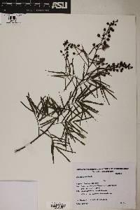 Image of Mimosa bifurca