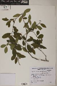 Image of Sebastiania commersoniana