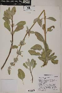 Image of Salvia vaseyi