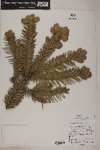 Image of Cunninghamia konishii