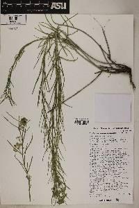 Asclepias subverticillata image