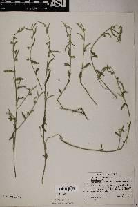 Ditaxis lanceolata image