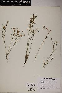 Linum aristatum image