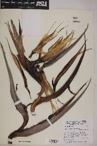 Image of Strelitzia nicolai